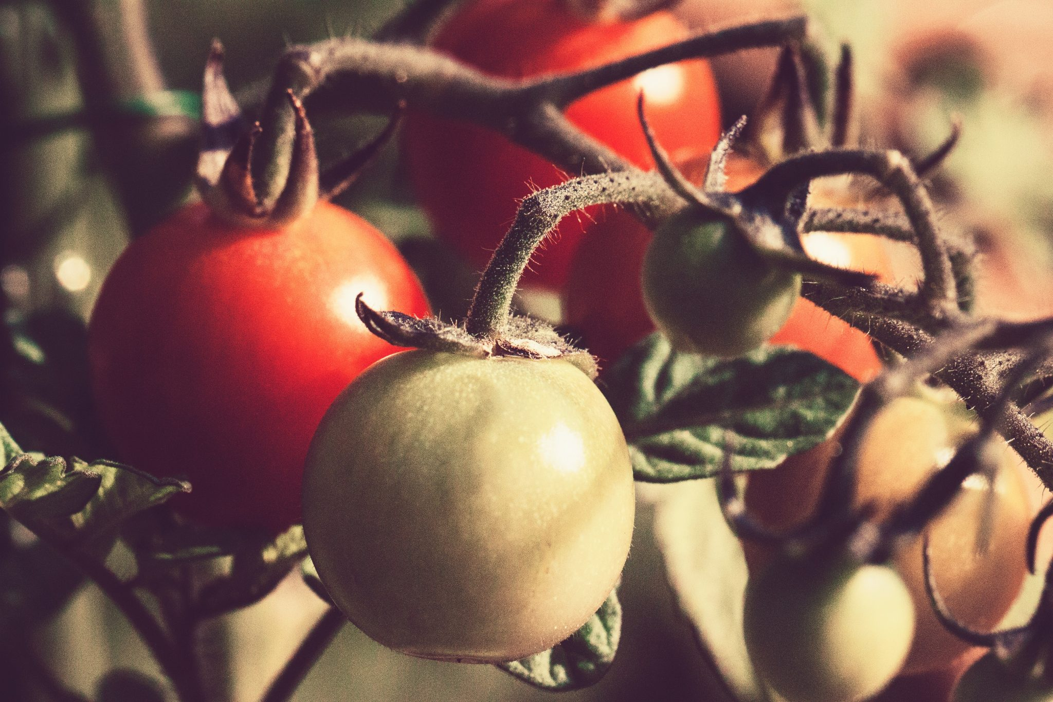 Delicious Tomatoes on the Vine